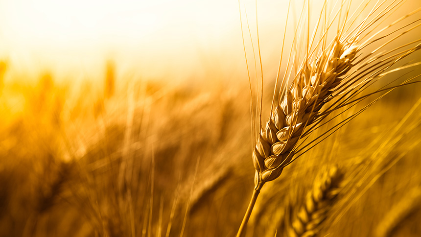 Falling Number for grain quality