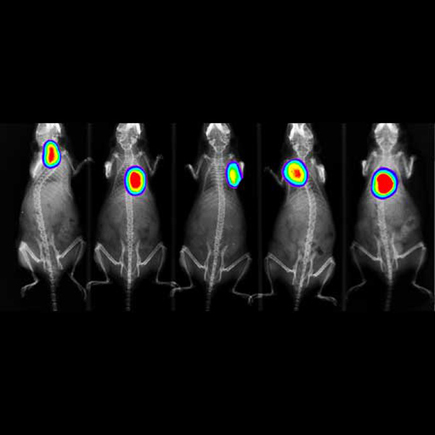 Simultaneous imaging of 5-mice using IVIS Lumina X5. X-ray with bioluminescence overlay.