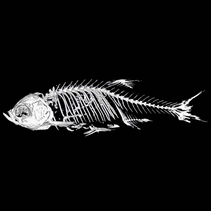 Skeletal structure of zebrafish imaged on Quantum GX microCT system