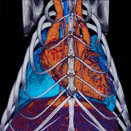 MicroCT of mouse heart and rib cage. Imaged using the Quantum GX2 microCT system