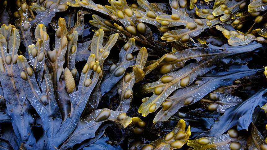 Cancer-killing Seaweed